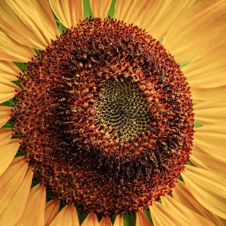 Charles_Gattis-Sun_Flower
